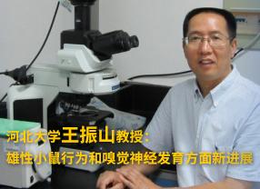 河北大学王振山教授:雄性小鼠行为和嗅觉神经发育方面新进展